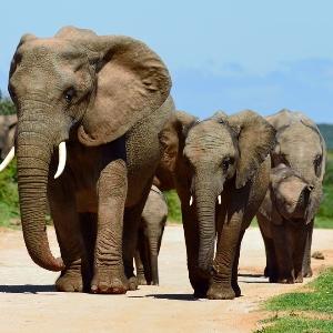 слоны снятся к стадо чему