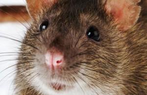 к чему сниться что убивают крысу