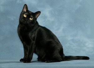 Чёрный кот толкование сна