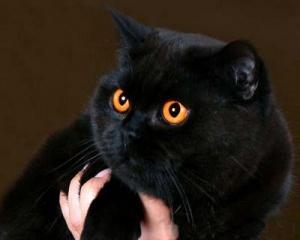 Большой черный кот во сне