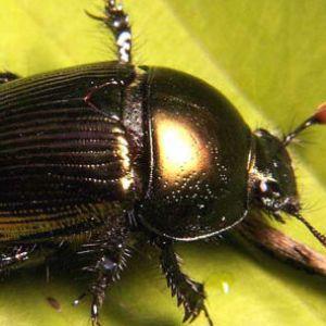Большие жуки по толкованию соннику Фрейда