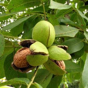 Грецкие орехи на дереве