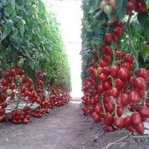 Красные помидоры на грядке