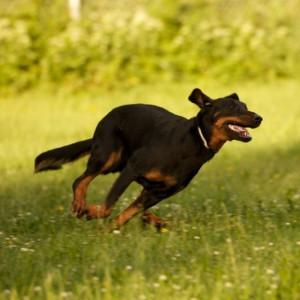 собаками к чему сниться погоня с