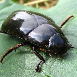 Снятся большие жуки в постели