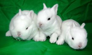 белый кролик сонник