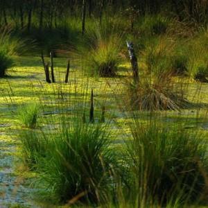 болота зеленые