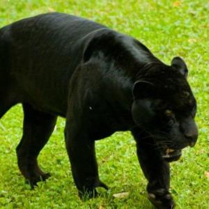 черная пантера, которая нападает