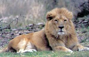 что означает лев во сне