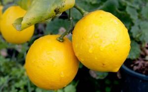 к чему могут сниться лимоны