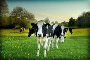 Обсуждение, к чему снится стадо коров женщине. Узнаем подробности из сонника