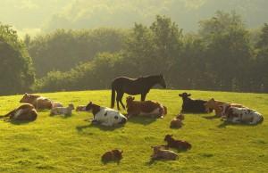 коровы и лошади