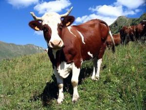 коровы сонник