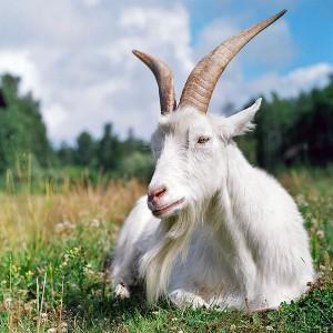 К чему снится коза или козел - сонник подскажет чего ...: http://astrolibra.com/sonnik/zhivotnyie/k-chemu-snitsya-koza-ili-kozel.html