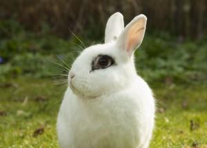 кролик с черным глазом