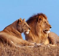 Обсуждаем, к чему снится лев женщине. Что предвещает видеть во сне льва?