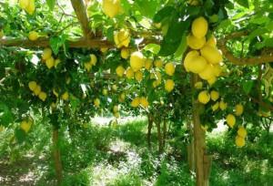 лимоны на дереве