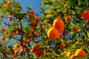 мандарины во сне