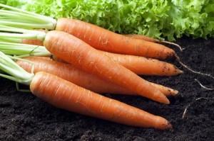 морковь сонник
