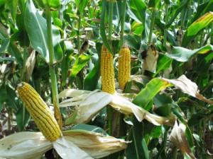 початки кукурузы на поле