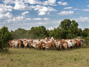 стадо коров сон