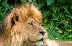 видеть во сне льва