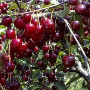 вишни на дереве