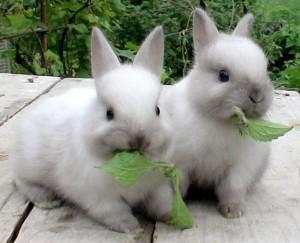 жующие кролики
