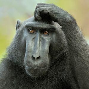 Большая обезьяна – что значит такой сон