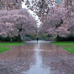 Если привиделся сад с вишнями