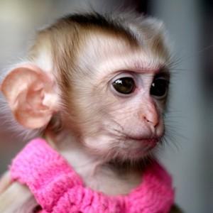 К чему видеть очень маленькую обезьяну
