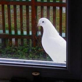 Голубь ударился в окно