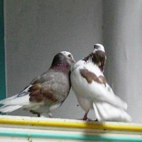 голубь прилетел со своей парой