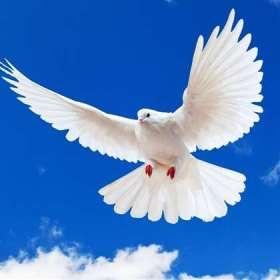 мечащийся голубь