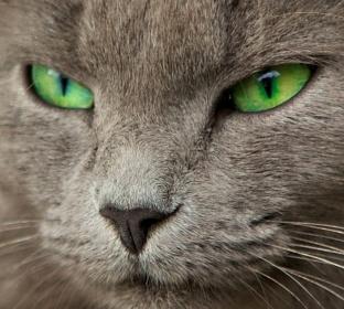 нельзя смотреть в глаза кошке