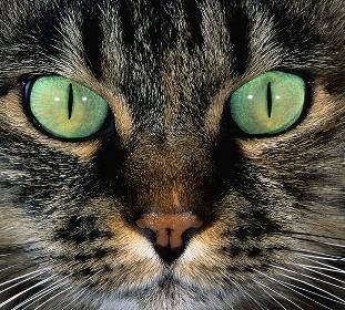 смотреть в глаза кошке