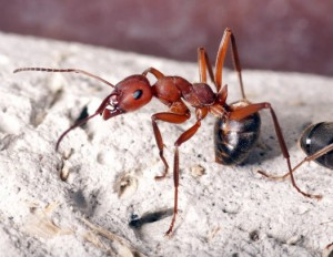 муравьи садовые