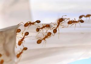 почему в доме повляются муравьи