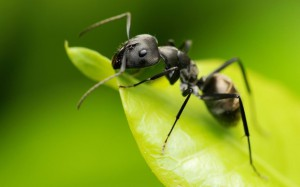 появление у квартире муравьев