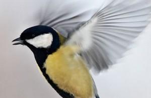 птица стучит в окно