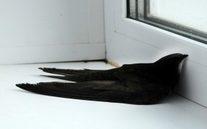 птица в квартире залетевшая в окно