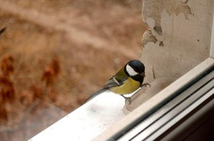 стучащая в окно птица