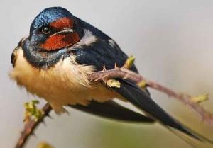 суеверия с залетевшей в дом птицей