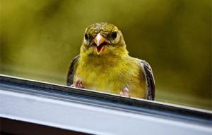 залетела птица в дом через окно примета