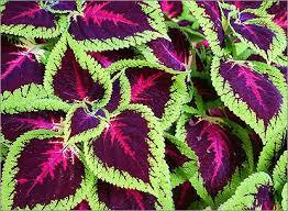 Колеус: приметы и суеверия, связанные с этим неприхотливым ярким растением