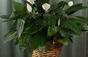 rastenie spatifilum 300x195 - Цветок женское счастье: приметы и суеверия, связанные с этим нежным растением