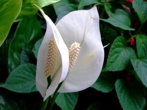 цветок спатифилум