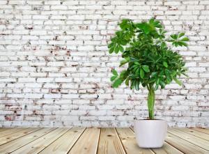 Шефлера в доме: приметы и мистические свойства растения